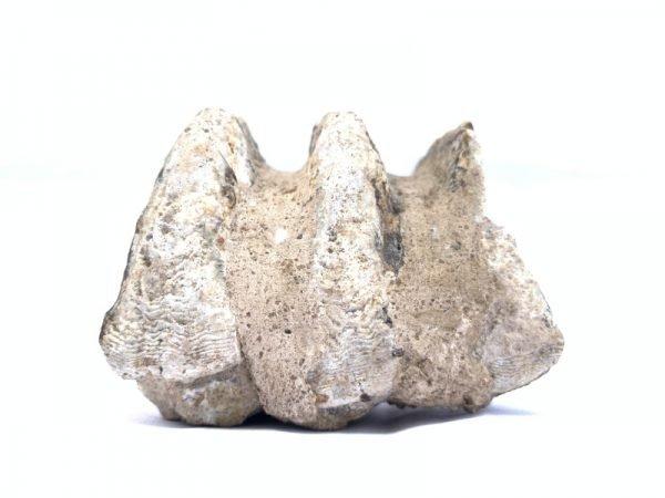 Stegodon or Mastodon fossil Extinct Mammal Animal Specimen Organic Remains