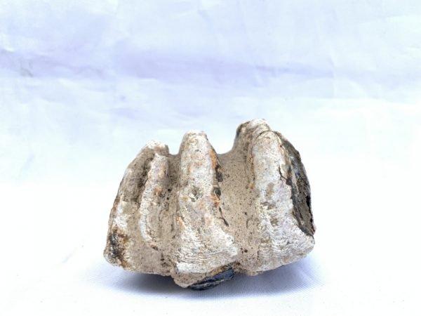 prehistoric fossil