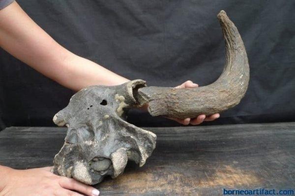 antler fossil