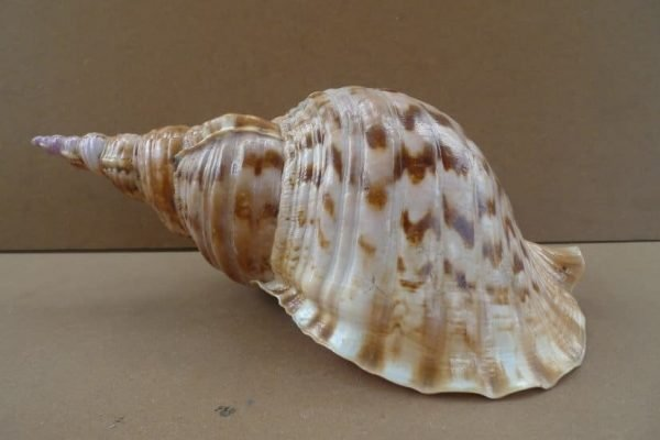 XXXLCHARONIA./mmSEASNAILPACIFICTRITONSeashellShellTrumpetLamp