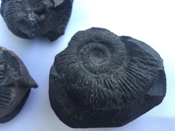 THREE AMMONITES FOSSIL ROCK Fossils Sulawesi Relic Cephalopod Marine Ammonite