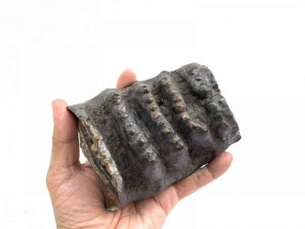 STEGODON MASTADON Fossils