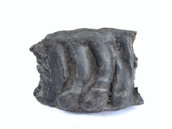 AUTHENTIC FOSSIL 140mm/ 5.5 STEGODON MASTADON Fossils Teeth Bone Prehistoric