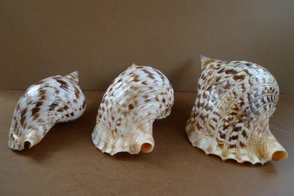 LARGE COLLECTION Three Charonia Pacific Triton Asia Asian Shell Seashell Snail