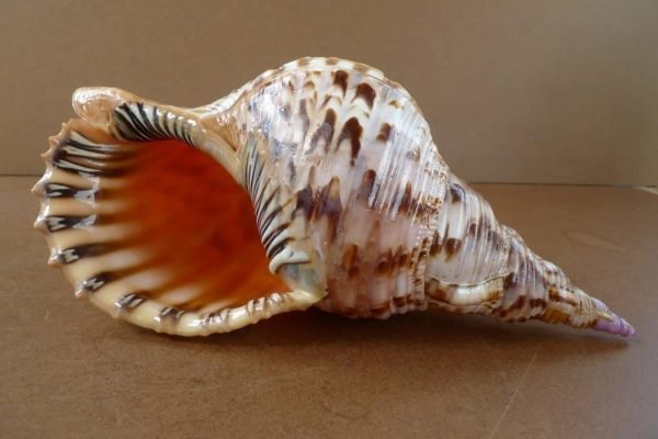 GIANTSEASHELLmmPACIFICTRITONLargeSeaSnailCharoniaTrumpetVintageAsiaArtHomeDeco#