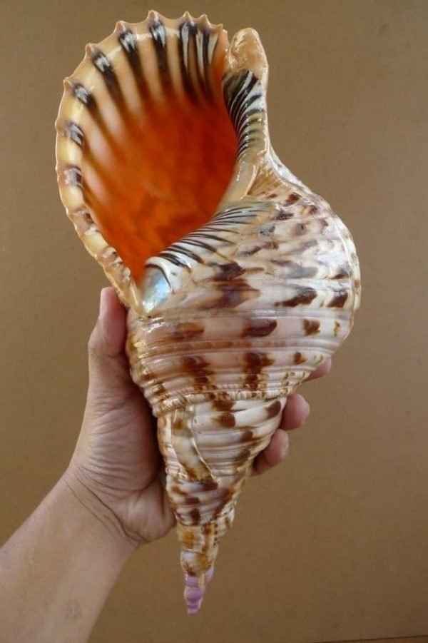 Charonia Seashell
