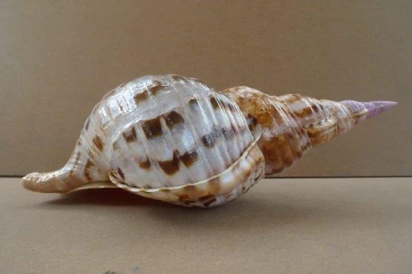 Shell Seashell