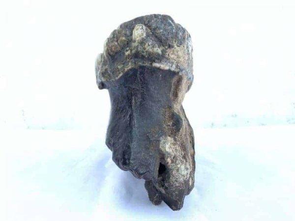 Mammoth Elephant 200mm Fossil Fossils Extinct Specimen Stegodon Mastadon Prehistoric
