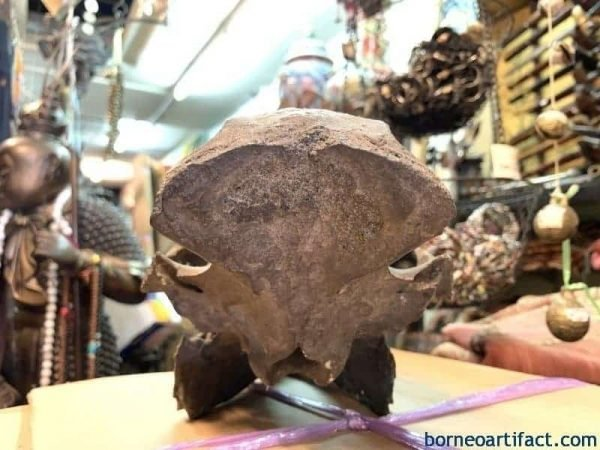 Wild Boar 390mm Fossil Fossils Large Skull Prehistoric Animal Eurasian Swine Pig